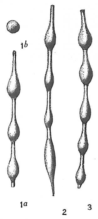 Nodosaria pyrula
