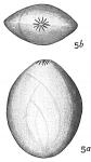 Polymorphina amygdaloides?