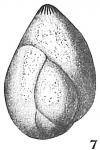 Polymorphina communis