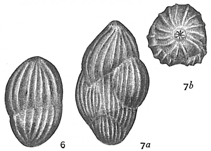 Polymorphina regina