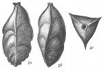 Triplasia tricarinata