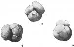 Globigerina conglobata