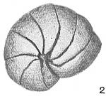 Nonionina orbicularis