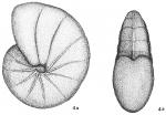 Nonionina stelligera