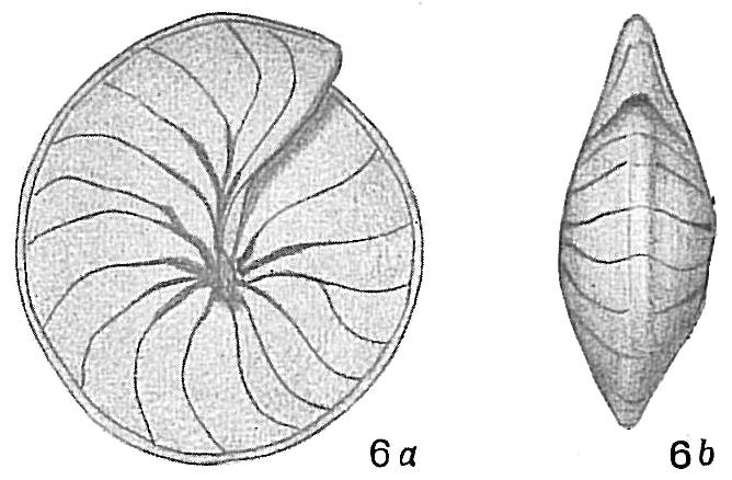 Nummulites cumingii