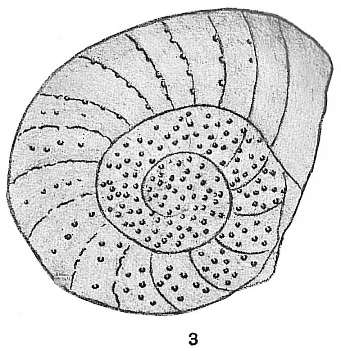 Operculina complanata var. granulosa