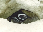 Magellanic penguin in its burrow