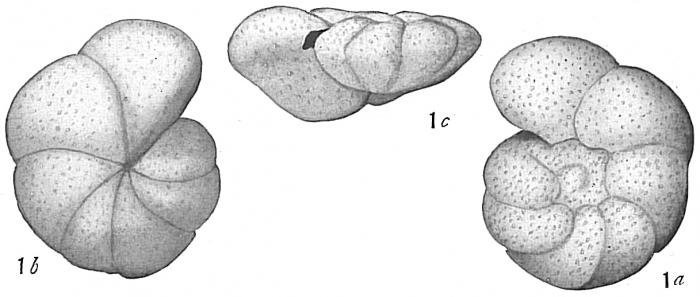 Anomalina grosserugosa