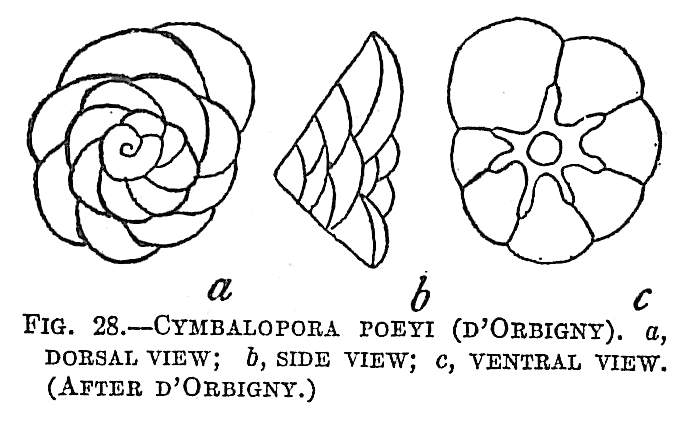 Cymbalopora poeyi