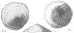 Discorbis orbicularis