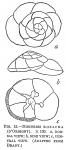 Discorbis rosacea
