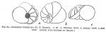 Discorbis ventricosa