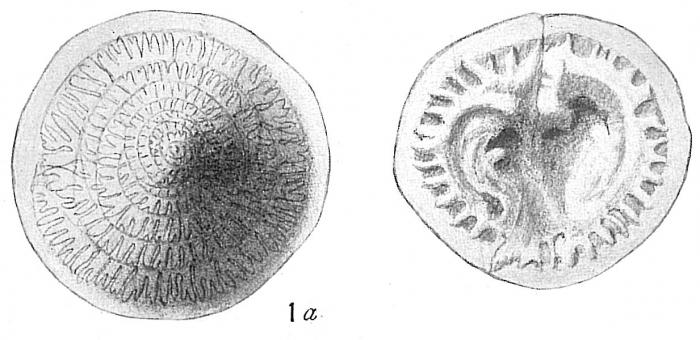 Patellina corrugata