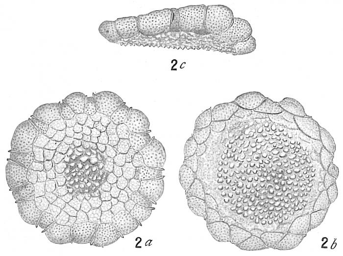 Planorbulina larvata