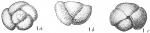 Pulvinulina crassa