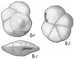 Pulvinulina exigua