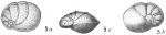 Pulvinulina oblonga scabra