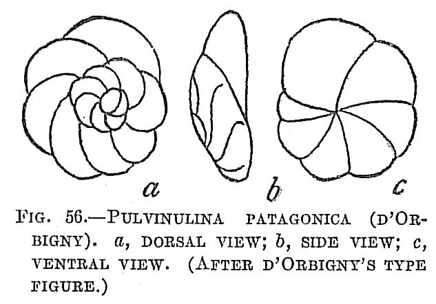 Pulvinulina patagonica