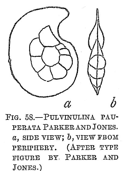 Pulvinulina pauperata