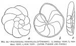 Pulvinulina punctulata