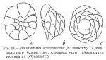 Pulvinulina schreibersii