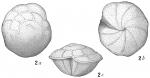 Rotalia broeckhiana