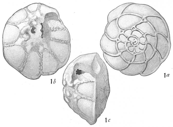 Rotalia papillosa compressiuscula