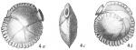 Siphonina reticulata