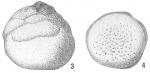 Tretomphalus bulloides