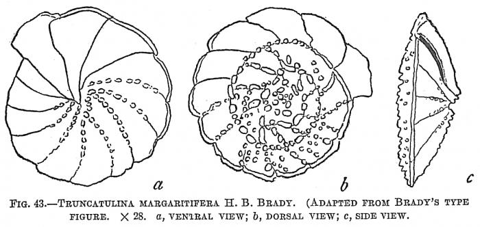 Truncatulina margaritifera