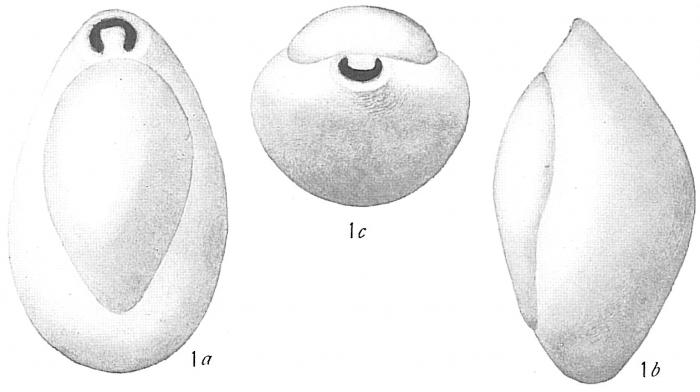 Biloculina elongata