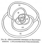 Biloculina ringens
