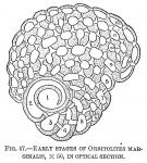 Orbitolites marginalis