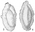 Quinqueloculina arenacea
