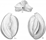 Quinqueloculina bicornis