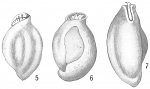 Quinqueloculina ferox