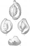 Quinqueloculina reticulata