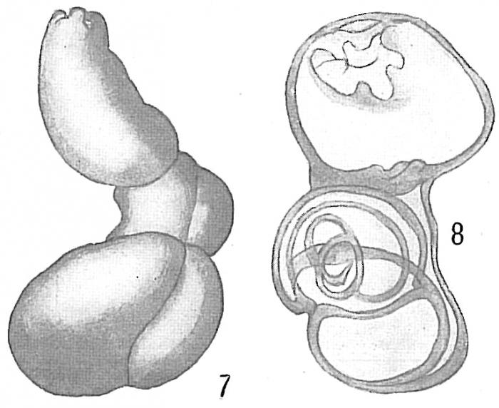 Quinqueloculina schauinslandi