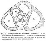 Quinqueloculina undulata