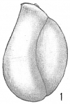 Triloculina cuneata