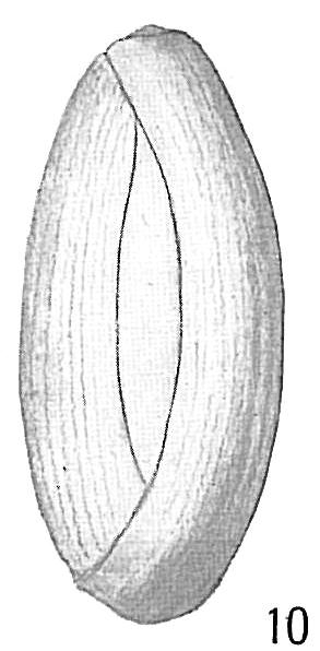 Triloculina cylindrica