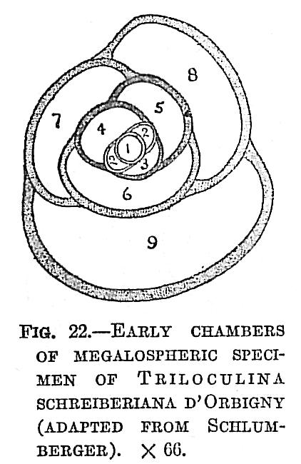 Triloculina schreiberiana