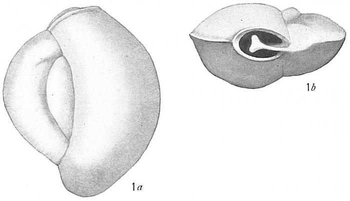 Biloculina