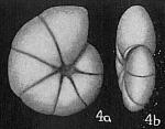 Haplophragmoides trullissata