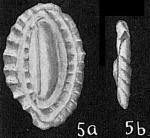 Massilina crenata