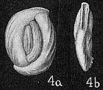 Massilina macilenta