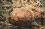 Picture of Ophiothrix fragilis (Abildgaard, 1789)