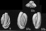 Quinqueloculina funafutiensis