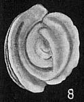 Spiroloculina sp.