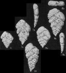 Textularia foliacea